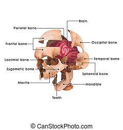 Skull brain