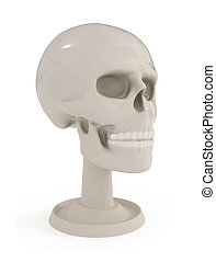 Skull Bust - Human Anatomy isolated on white