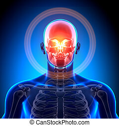 Skull / Cranium - Anatomy Bones