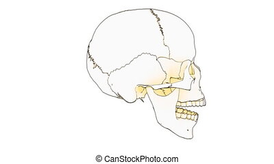 skull draw - A drawing of a human skull on white background...
