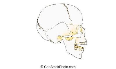 skull draw