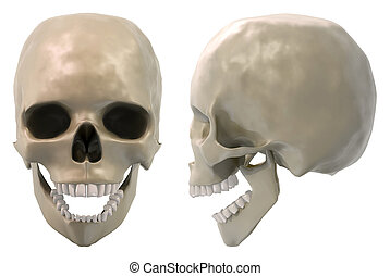 skull front and side, jaw open - 3D Rendering of a skull,...