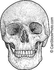 Skull illustration, drawing, engraving, ink, line art, vector