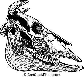 skull., illustrazione, toro