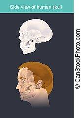 skull., infographic., ilustração, human, vista lateral