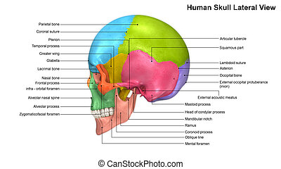 Skull Lateral view - The human skull is generally considered...