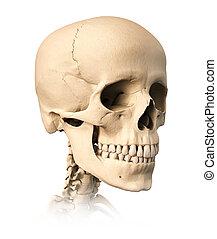 skull., menneske