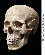 Skull model over black background