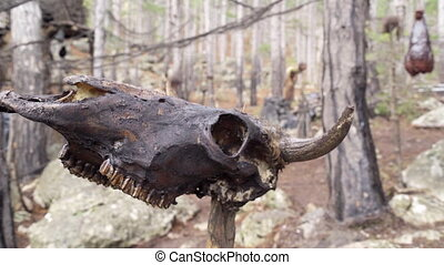 Skull of a cow on a stick in the stone forest - Close up of...