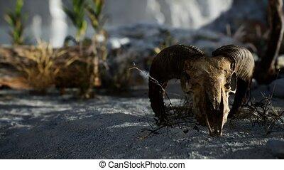 Skull of a dead ram in the desert