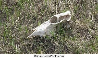 Skull of a large animal on the grass