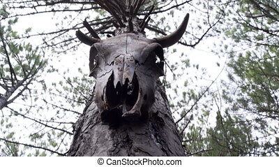 Skull of cow on the tree - Bottom shot of skull of cow on...