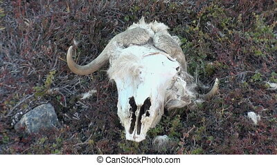 Skull of musk-ox sheep in mountains of cold deserted Arctic.