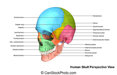 Skull Perspective view