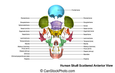 The human skull is generally considered to consist of twenty-two bones %u2014 eight cranial bones and fourteen facial skeleton bones. In the neurocranium these are the occipital bone, two temporal bones, two parietal bones, the sphenoid, ethmoid and frontal bones.