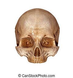 Skull upper part