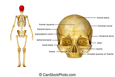 The human skull is a bony structure, the head in the skeleton, which supports the structures of the face and forms a cavity for the brain. The adult skull is said to consist of two parts of different embryological origin%u2013the neurocranium and the viscerocranium.