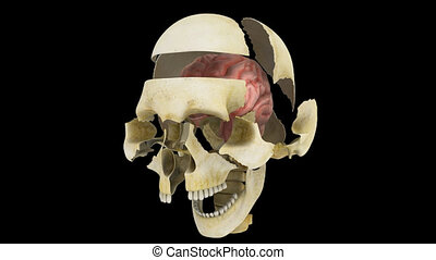 Skull with brain - The human brain has the same general...