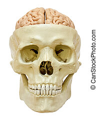Model of a skull with visible brain, isolated on white background.