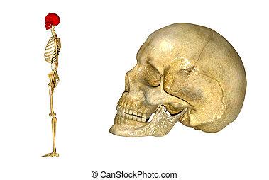 Skull_side view