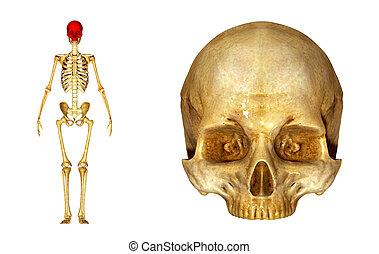 Skull_upper part