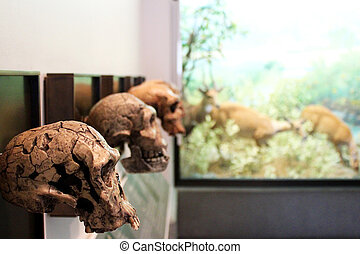 Skulls in Museum - Skulls in museum showing human evolution