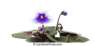 skum rosa, afrikansk viol, (saintpaulia), med, vit, trimma, isolerat, vita, bakgrund