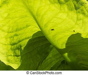 Skunk Cabbage