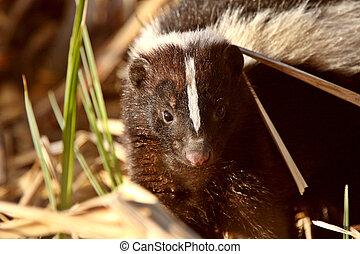 skunk rayado, en, pantano