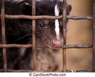 skunk rayado, joven