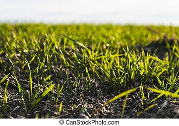 sky., agriculture, jeune, bleu, seedlings, pousses, rye.,...