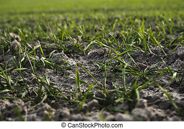 sky., agriculture, jeune, bleu, seedlings, pousses, rye., ...