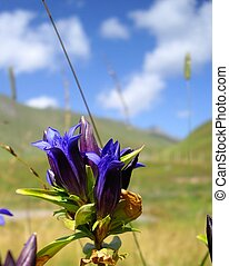 Sky blue harebell on the mountain meadow