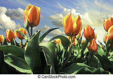 Sky Colors over Netherlands Tulips