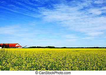 Beautiful rural scene, with an orange roof farm amidst golden yellow canola, rapeseed or colza field (hdr) on a summer day and blue sky.