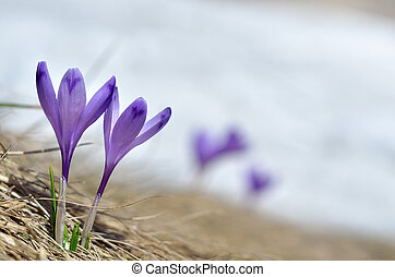 Sky flower, crocus, grass and snow