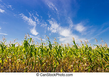 Sky with cirrus clouds over corn field