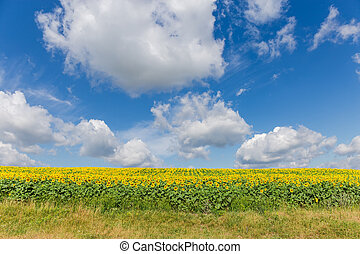Sky with clouds over field of blooming sunflowers