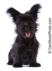 Skye terrier puppy isolated on white