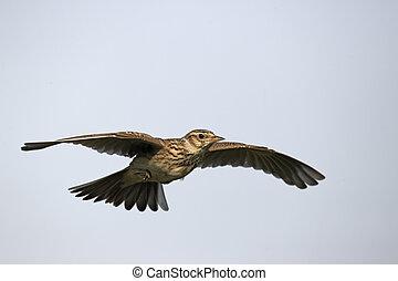 Skylark, Alauda arvensis, single bird in flight, Midlands, ...