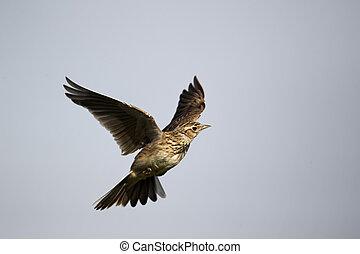 Skylark, Alauda arvensis, single bird in flight, Midlands,...