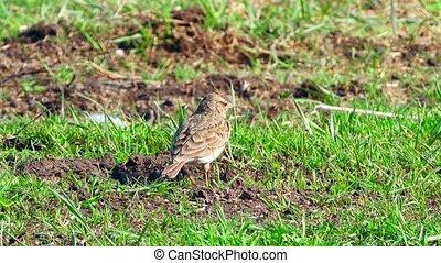 skylark on a green grass