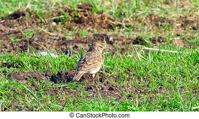 skylark on a green grass
