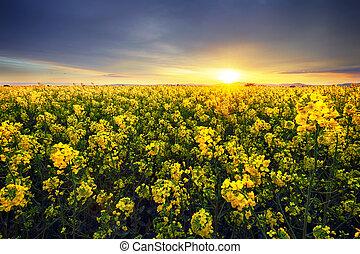 skyn, bakgrund, canola, gul, rapsfrö, fält, solnedgång, landskap