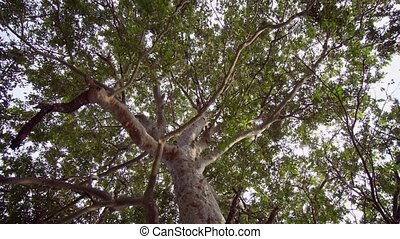 Skyward Perspective of a Mature Tropical Tree. 1080p DCI...