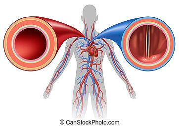 slagader, en, ader, menselijk, circulatie
