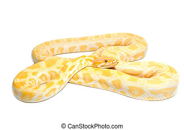 slang, goud, abino, python