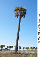Slanted palm tree