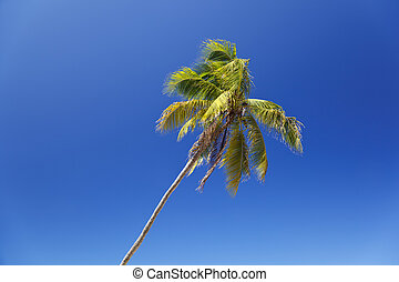 Slanted Palm Tree With Blue Sky, Antigua