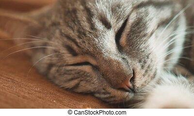slapende, gestreepte , tomcat, kat, perfect, dream., kat,...